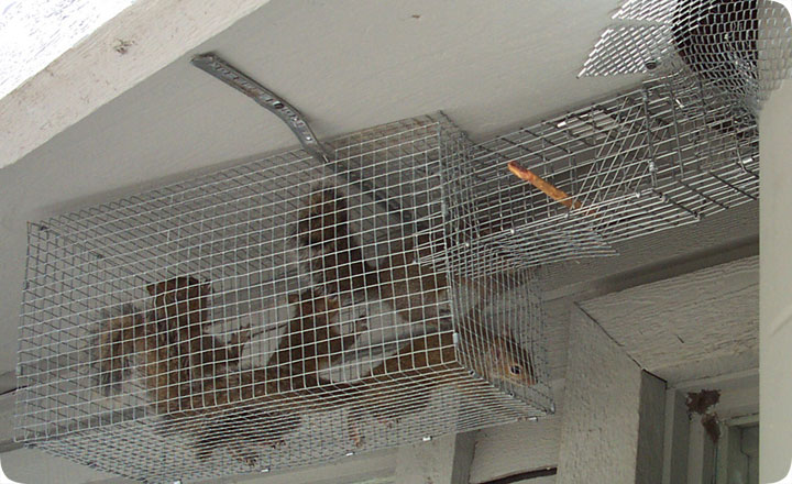 Squirrels In The Ceiling How To Get Rid Of And Remove Them