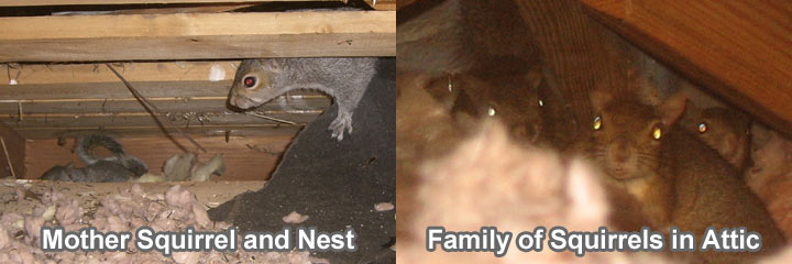 Image Led Get Rid Of Squirrels In The Attic 1